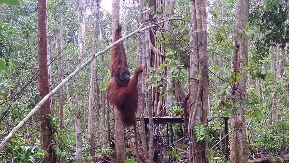 The first alpha male orangutan we saw in Tanjung Puting