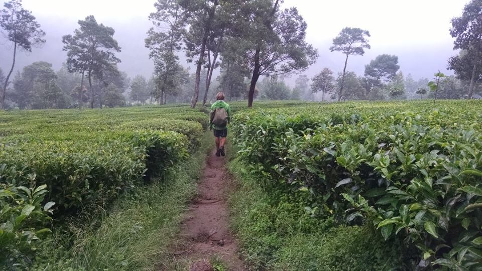 Hiking through the tea fields of Sigedang after our hike up Sindoro